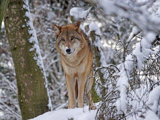 В Кировской области ликвидировали стаю особо крупных волков