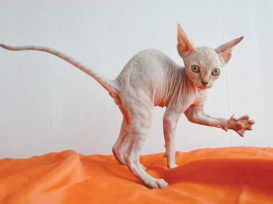 Что нужно знать о бесшерстных кошках и собаках