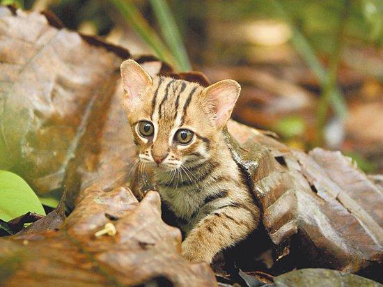 На Шри-Ланке обитают кошки размером с ладонь