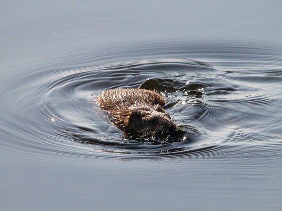 В Бурятии рыбак выловил в проруби возмущенную ондатру