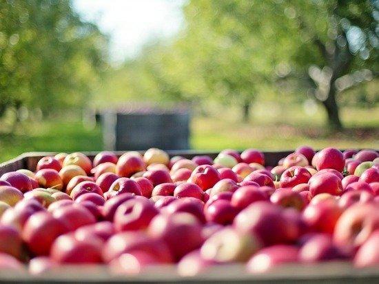Загадка яблок: почему при небывалом урожае едим импорт