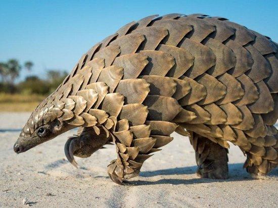 Плацентарные млекопитающие оказались промежуточными носителями коронавируса