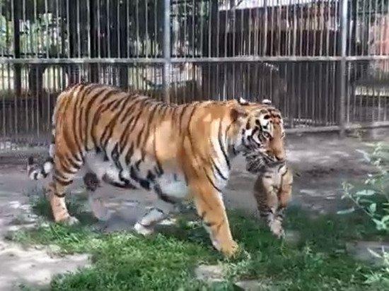 В нью-йоркском зоопарке коронавирусом заразили тигрицу
