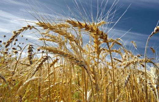 Урожай пшеницы в 2020 году стал вторым после рекорда 2017-го