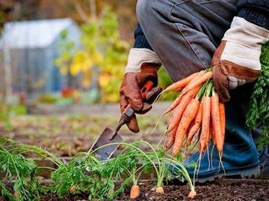 Уборка овощей обернулась большими проблемами для российского села