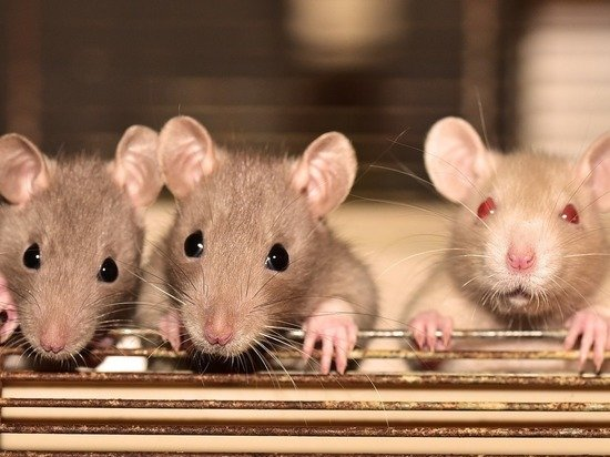 Ученые начали проверять работу биогибридных крыс на больных COVID-19