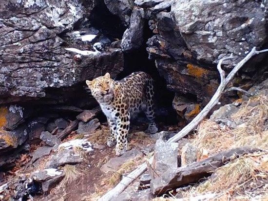 Пещерный обед краснокнижного леопарда попал на видео
