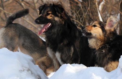 Бродивший в Подмосковье волк найден и помещен в приют