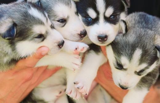 Кинолог назвал лучший возраст щенка для переезда в новый дом