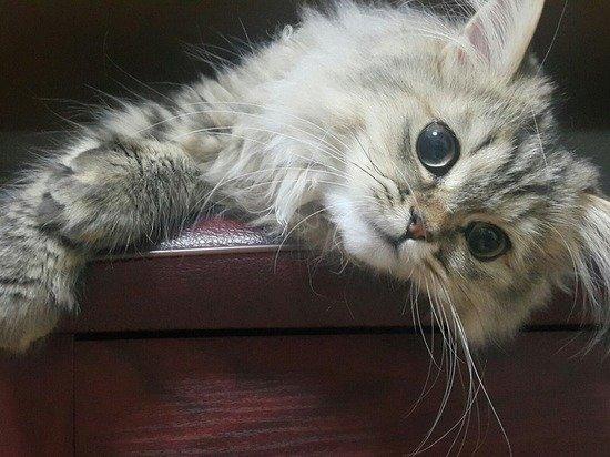 Названы лучшие породы кошек для жизни в квартире