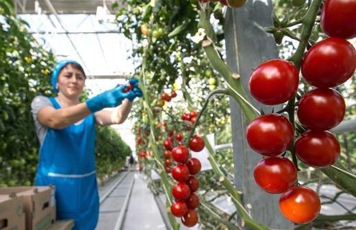 Минсельхоз России предложил увеличить квоту Турции на ввоз томатов