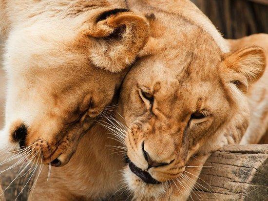 Семь львов спасли из зоопарков Украины и отправили в Африку