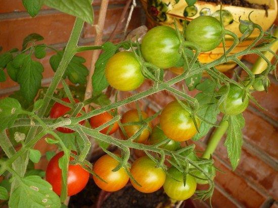 Названа лучшая подкормка помидоров в июле для хорошего урожая