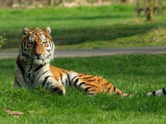 В России растет популяция амурского тигра
