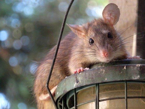 Апартаменты россиян в Болгарии атаковали полчища крыс: «Нашел двести штук»