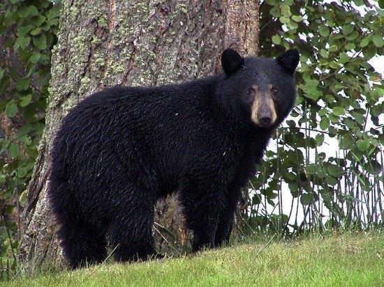 В Приморье экологи выпустили в лес шесть гималайских медвежат