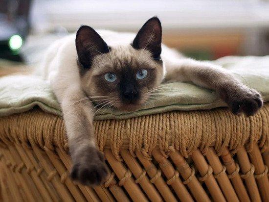 Названа пятерка самых игривых пород кошек