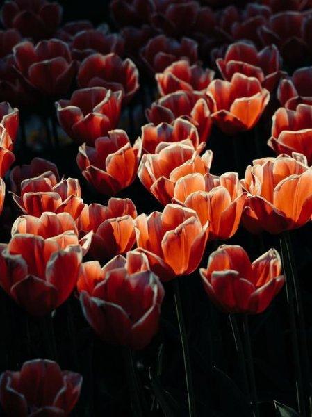 Дачникам рассказали, как вырастить тюльпаны в следующем году