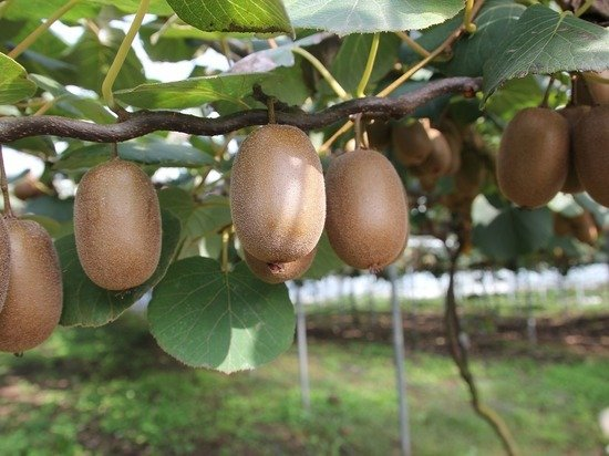 Назван фрукт, оказывающий «волшебный эффект» на здоровье