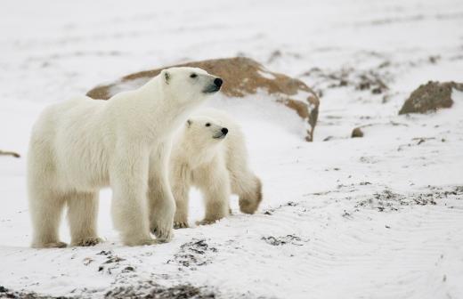 Белый медвежонок-сирота на Чукотке научился добывать себе пищу